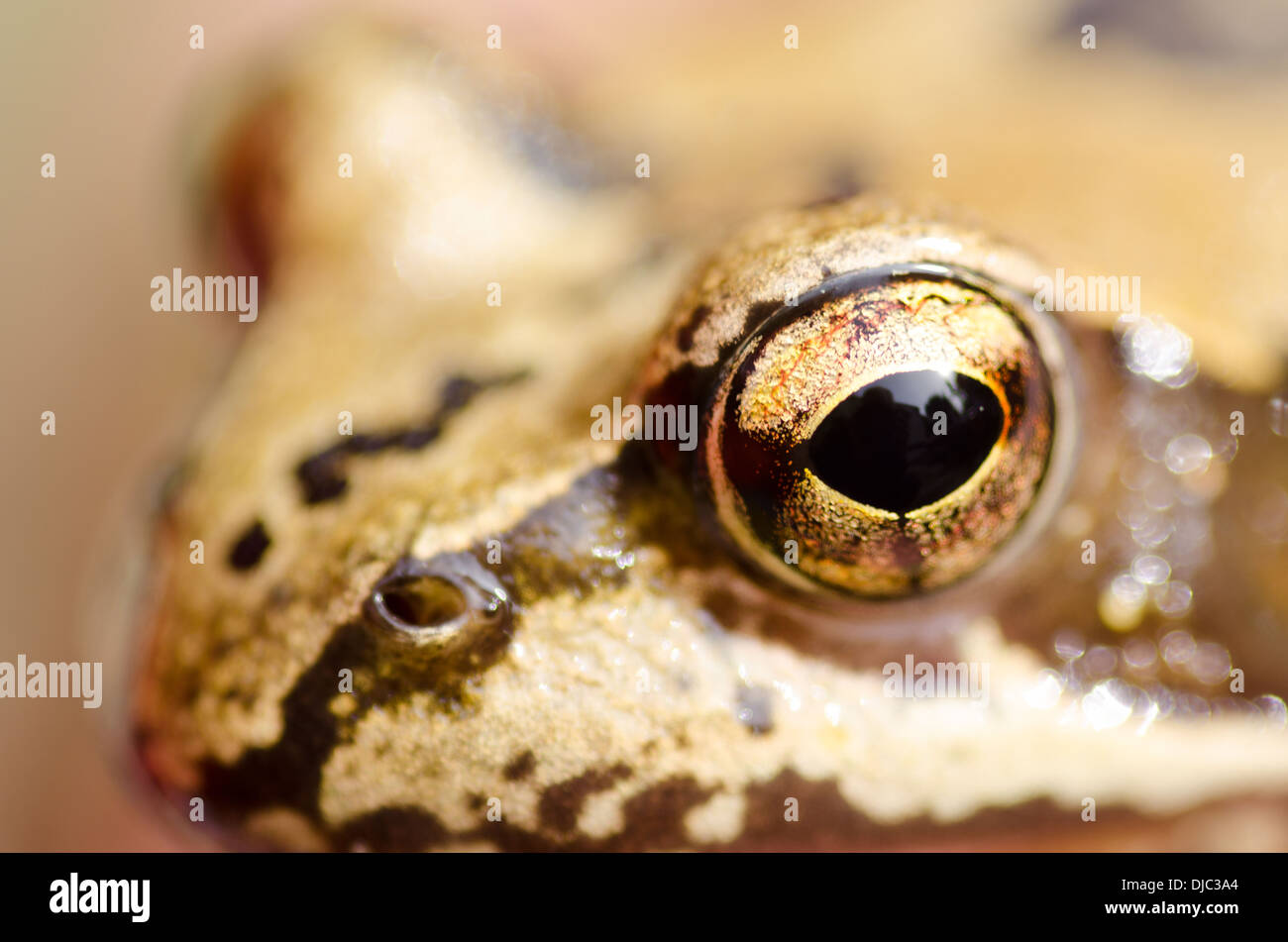 Rana temporaria head with focus on the eye, common frog - Stock Image