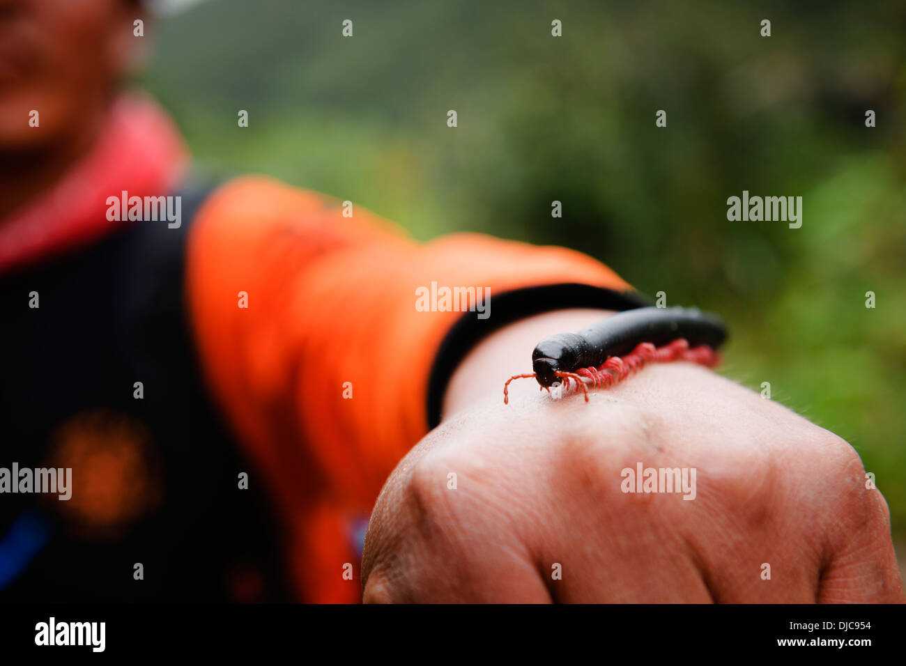 A red-legged millipede - a familiar scenery along the route of the Salkantay Trek in the Cuzco Region of Peru. Stock Photo