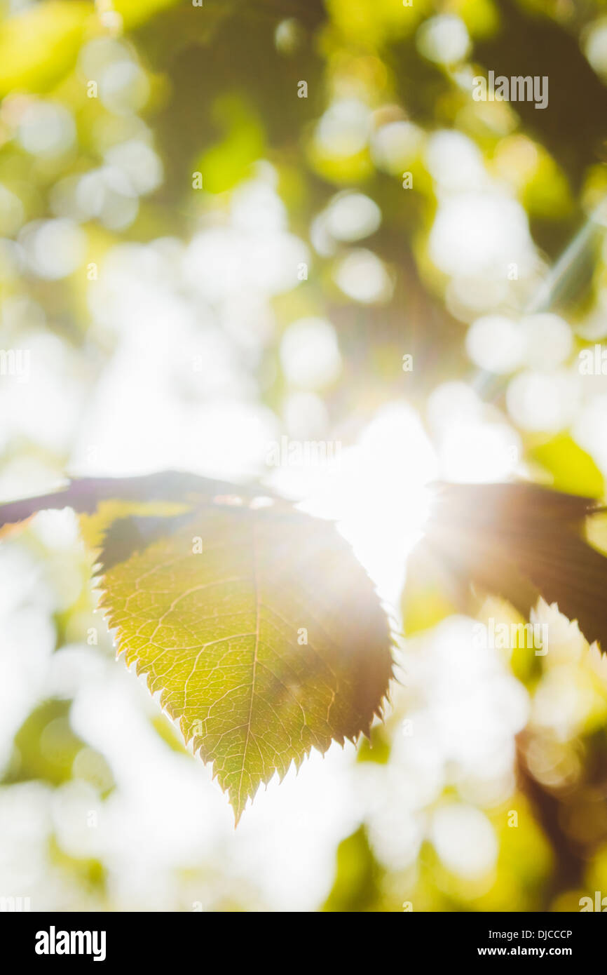 Tree leaf with sun glare. - Stock Image