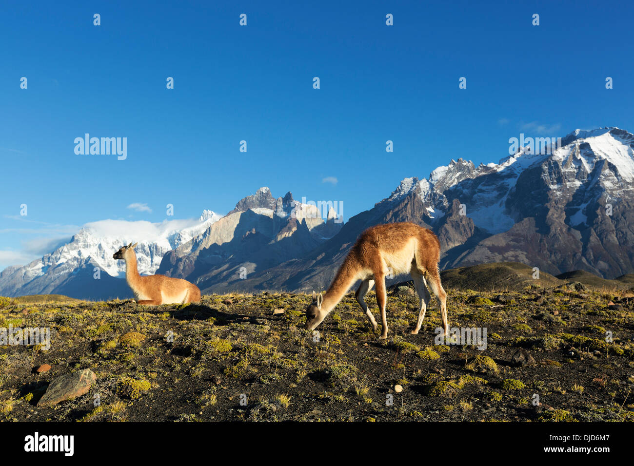 Two Guanacos(Lama guanicoe) standing on the hillside with Torres del Paine mountains in the background.Patagonia.Chile - Stock Image