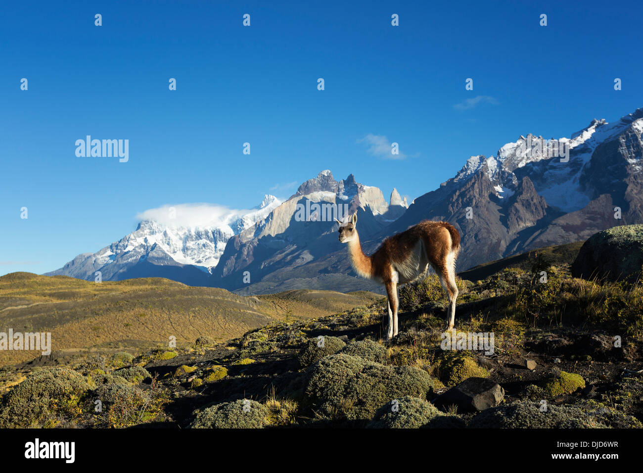 Guanaco(Lama guanicoe) standing on the hillside with Torres del Paine mountains in the background.Patagonia.Chile - Stock Image