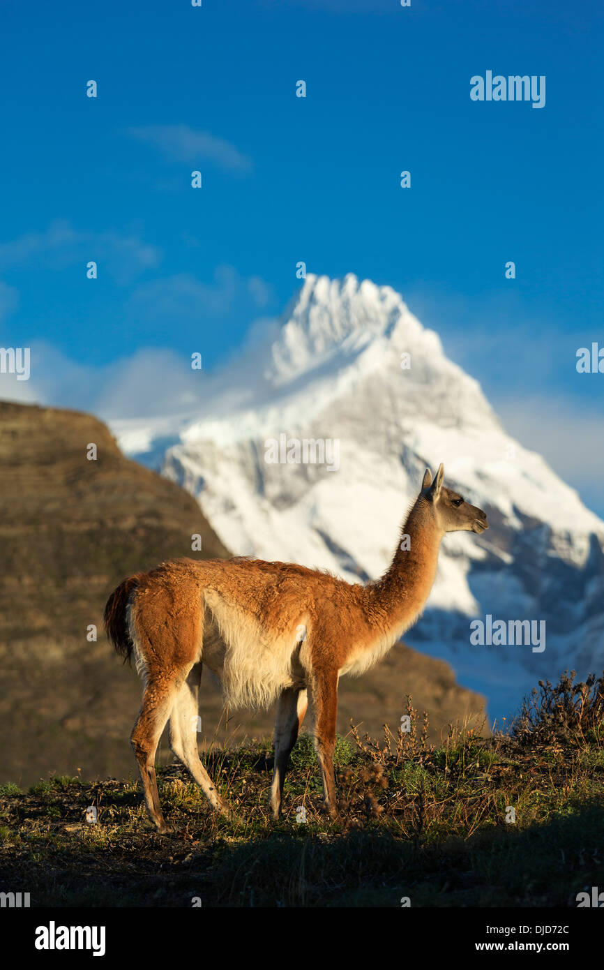Guanaco(Lama guanicoe) standing on the hillside with Torres del Paine mountains in the background.Patagonia.Chile Stock Photo