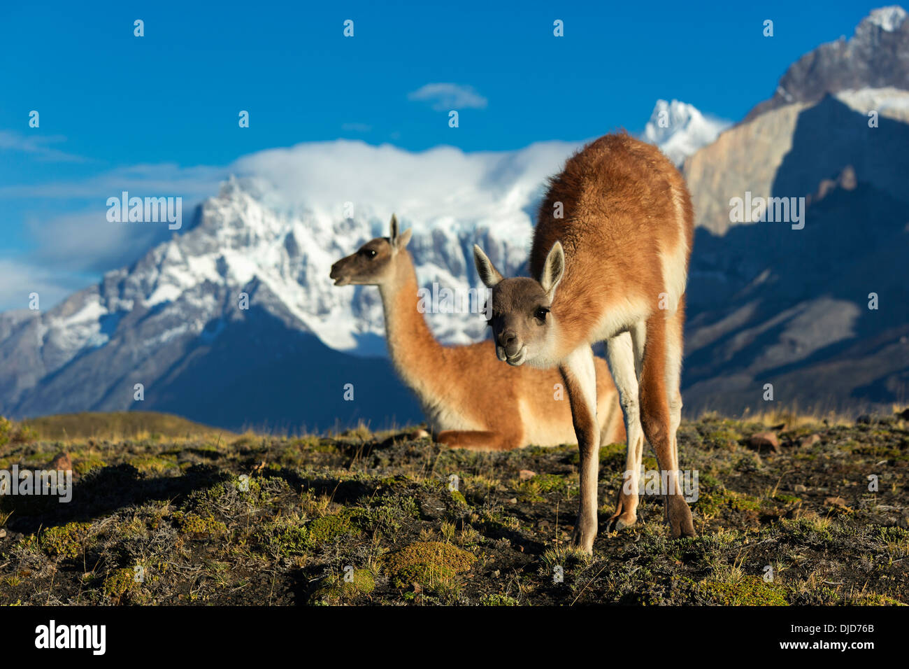 Two Guanacos(Lama guanicoe) on the hillside with Torres del Paine mountains in the background.Patagonia.Chile - Stock Image