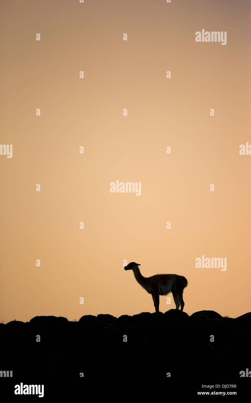 Guanaco(Lama guanicoe) silhouette standing on the hillside.Patagonia.Chile - Stock Image