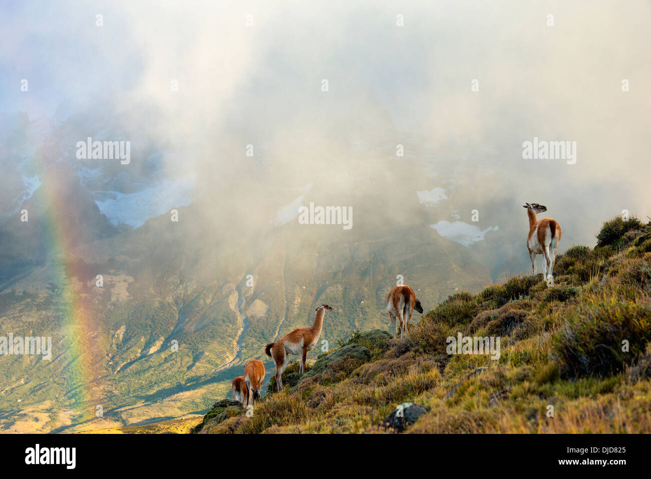 Small group of Guanacos(Lama guanicoe) standing in the mist on the hillside with Torres del Paine mountains and a rainbow in the - Stock Image