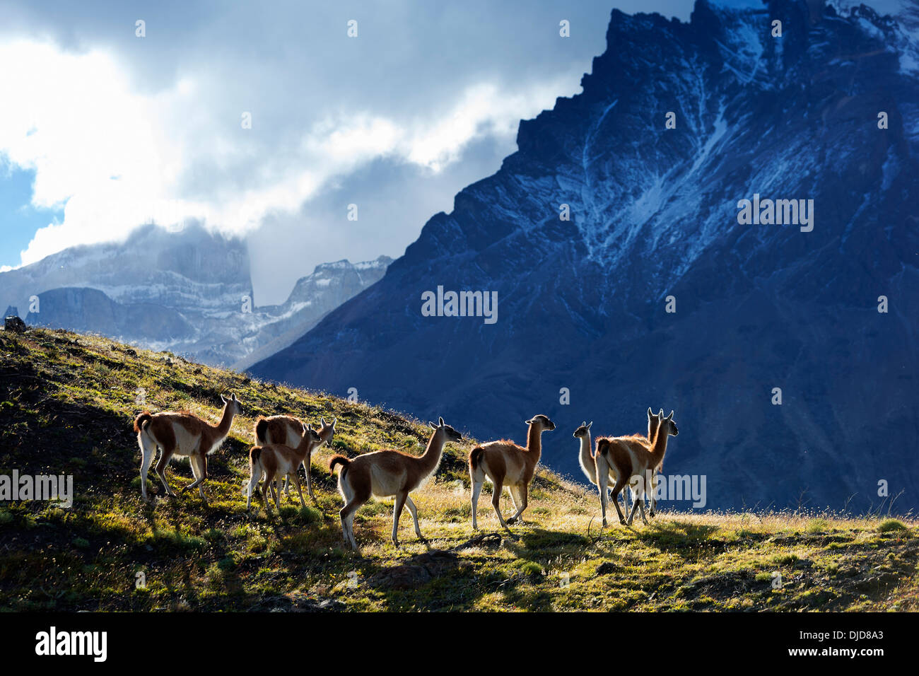 Small group of Guanaco(Lama guanicoe) standing on the hillside with Torres del Paine mountains in the background.Patagonia.Chile - Stock Image
