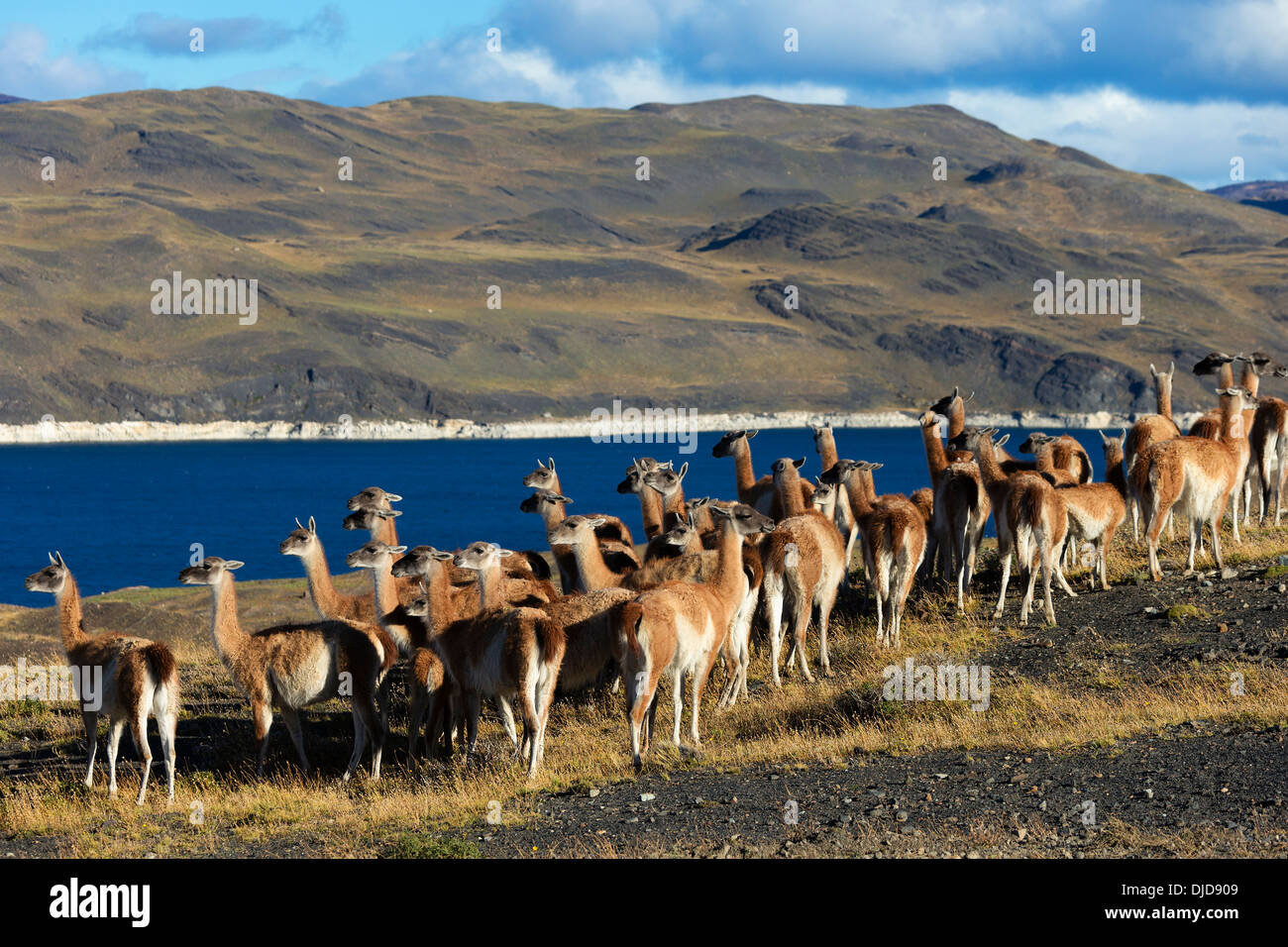 Small herd of Guanacos(Lama guanicoe) in Torres del Paine National Park.Patagonia.Chile - Stock Image