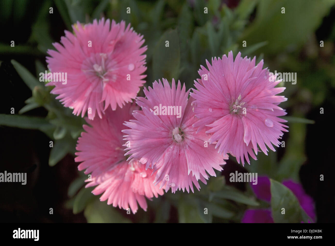 Dianthus Chinensis Or China Pink Flowers In Garden Pune Stock Photo