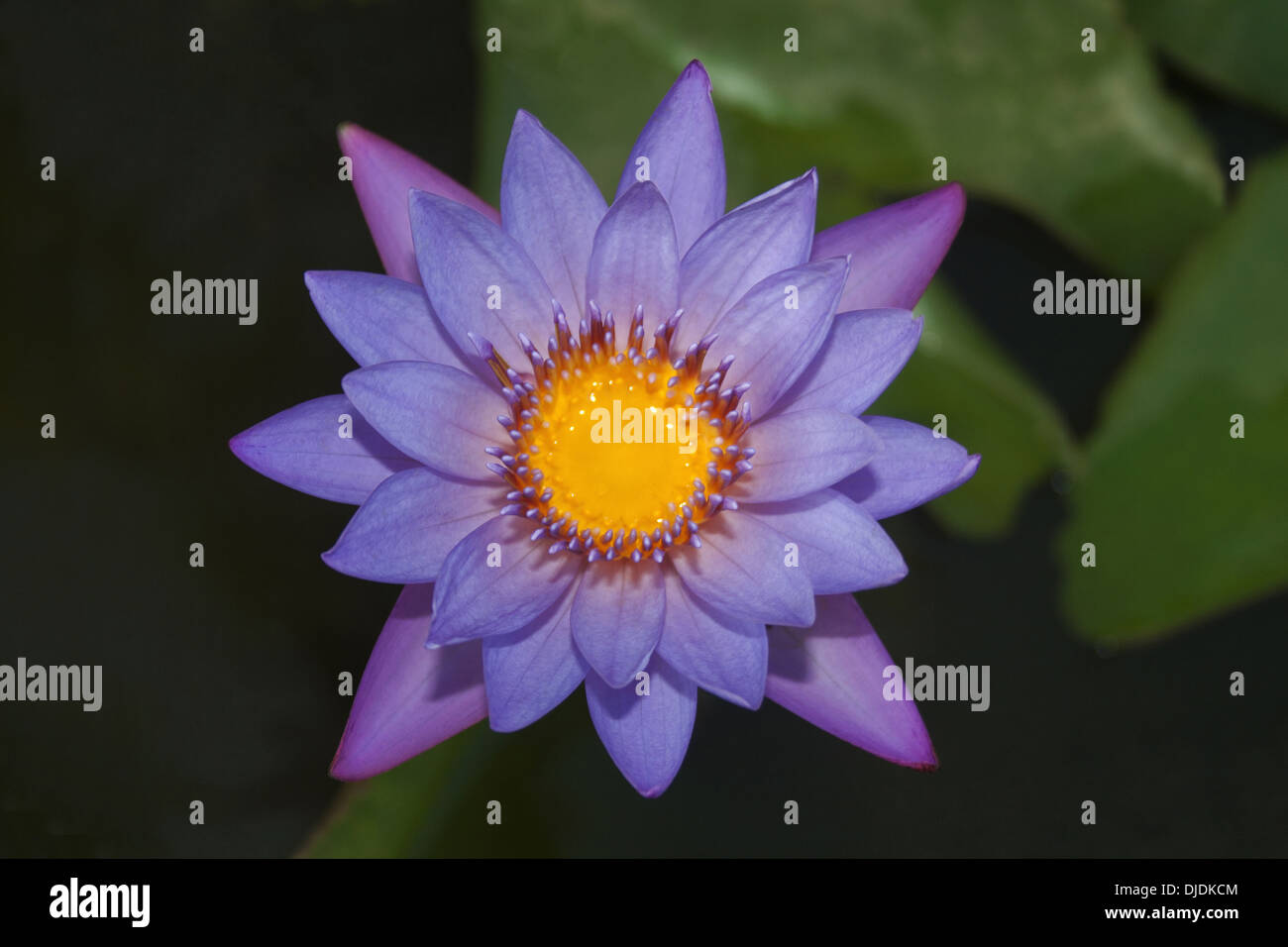 The Blue Water Lily Nymphaea Caerulea Indian Blue Lotus Is A Stock