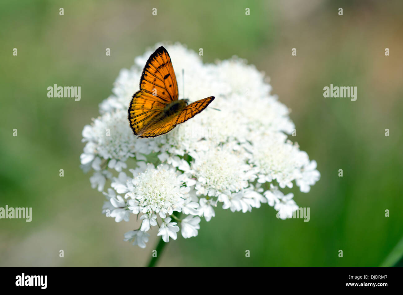 Common Copper butterfly male upperside on a white weed flower (Queen ...