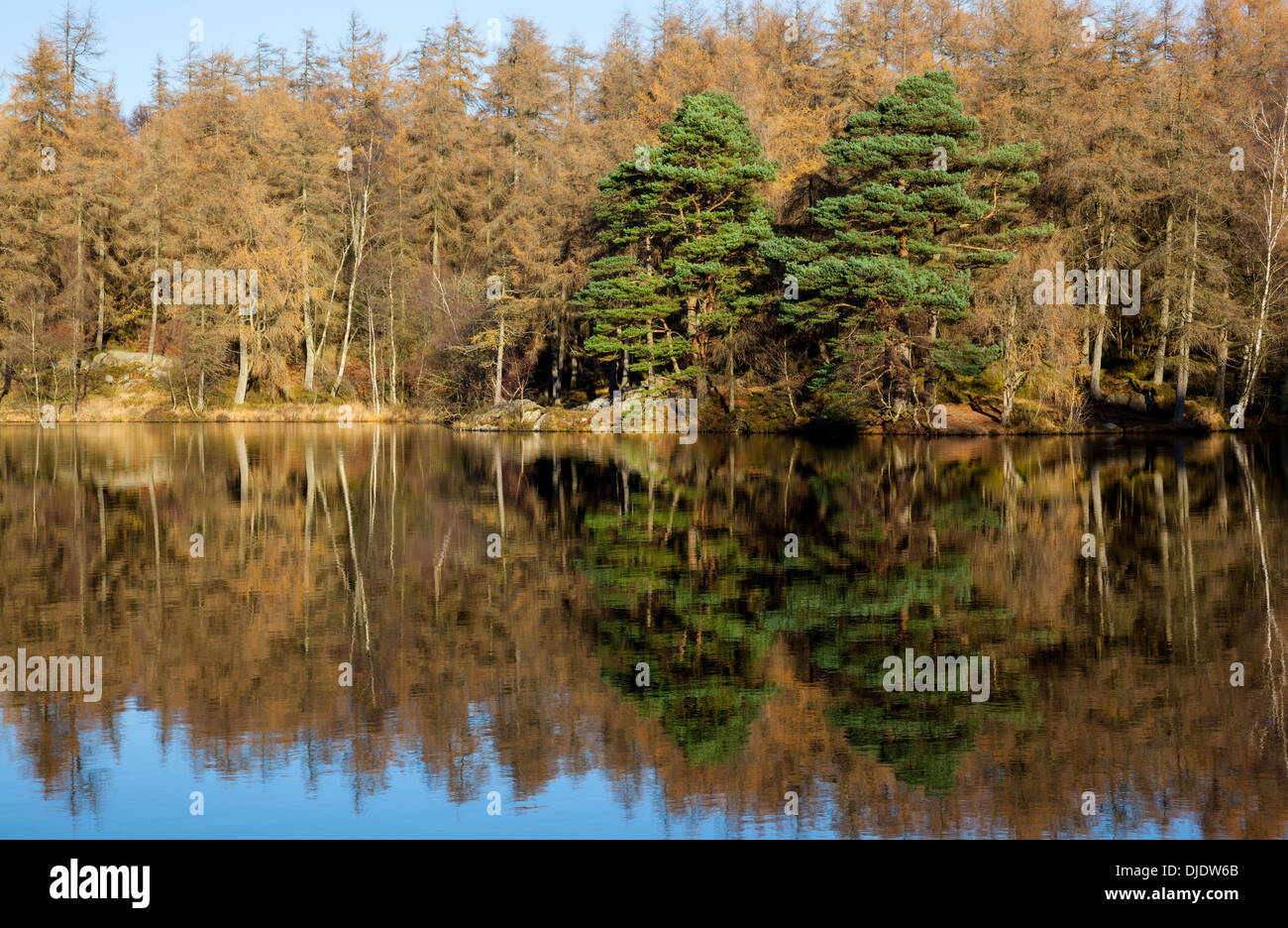 Larches reflected in water, at High Dam, near Finsthwaite, Lake District, Cumbria Stock Photo