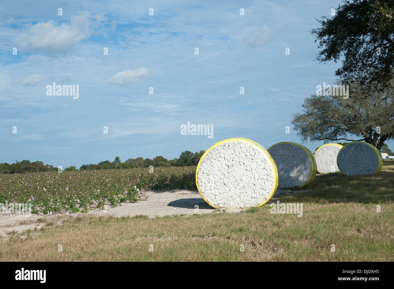 Round bales of cotton on a farm in northern Florida USA - Stock Image