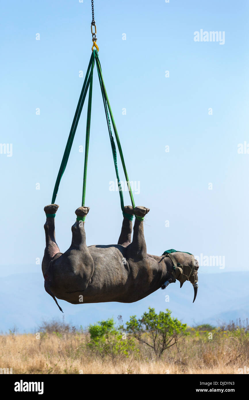 Black Rhinoceros (Diceros bicornis) being transported by helicopter to a safe location.Ithala game reserve.South Africa - Stock Image