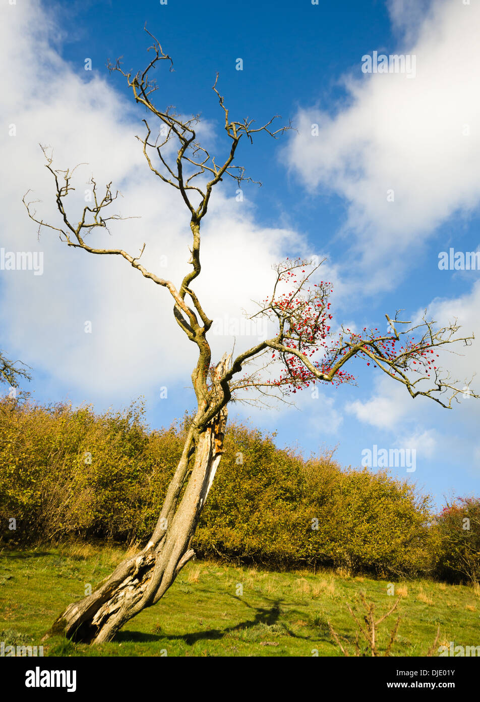 Old Hawthorn tree with haws, in winter - Stock Image