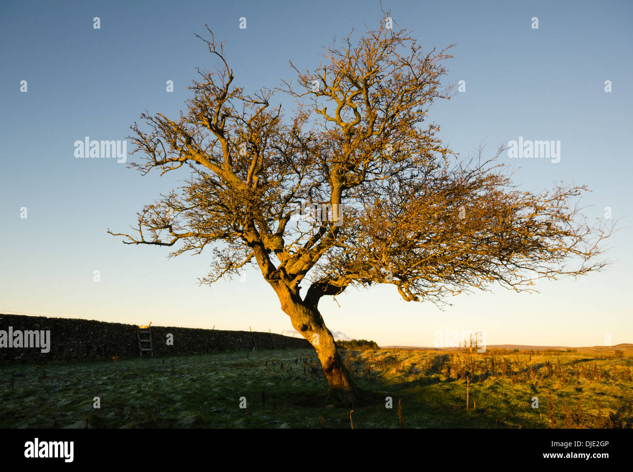 Winter hawthorn tree on farmland - Stock Image