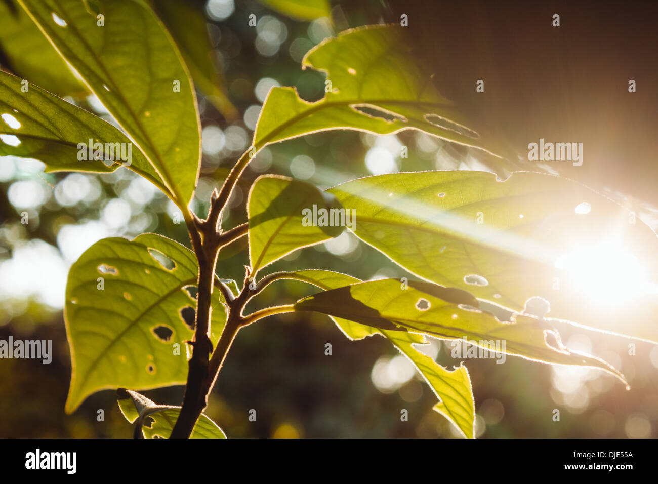 Tree leaves with sun glare. - Stock Image