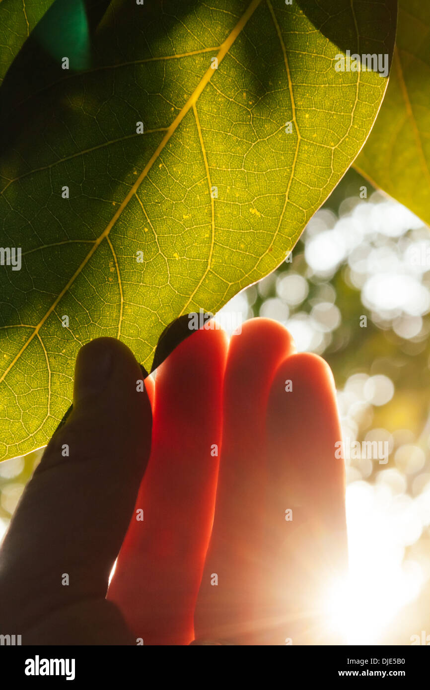 Sunlight shines through hand reaching a tree leaf. - Stock Image