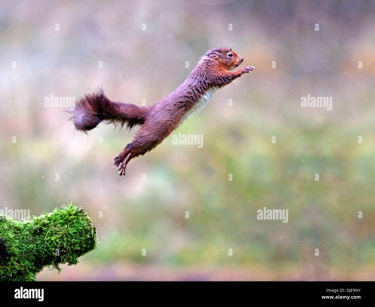 Red squirrel leaping from branch, jumping - Stock Image