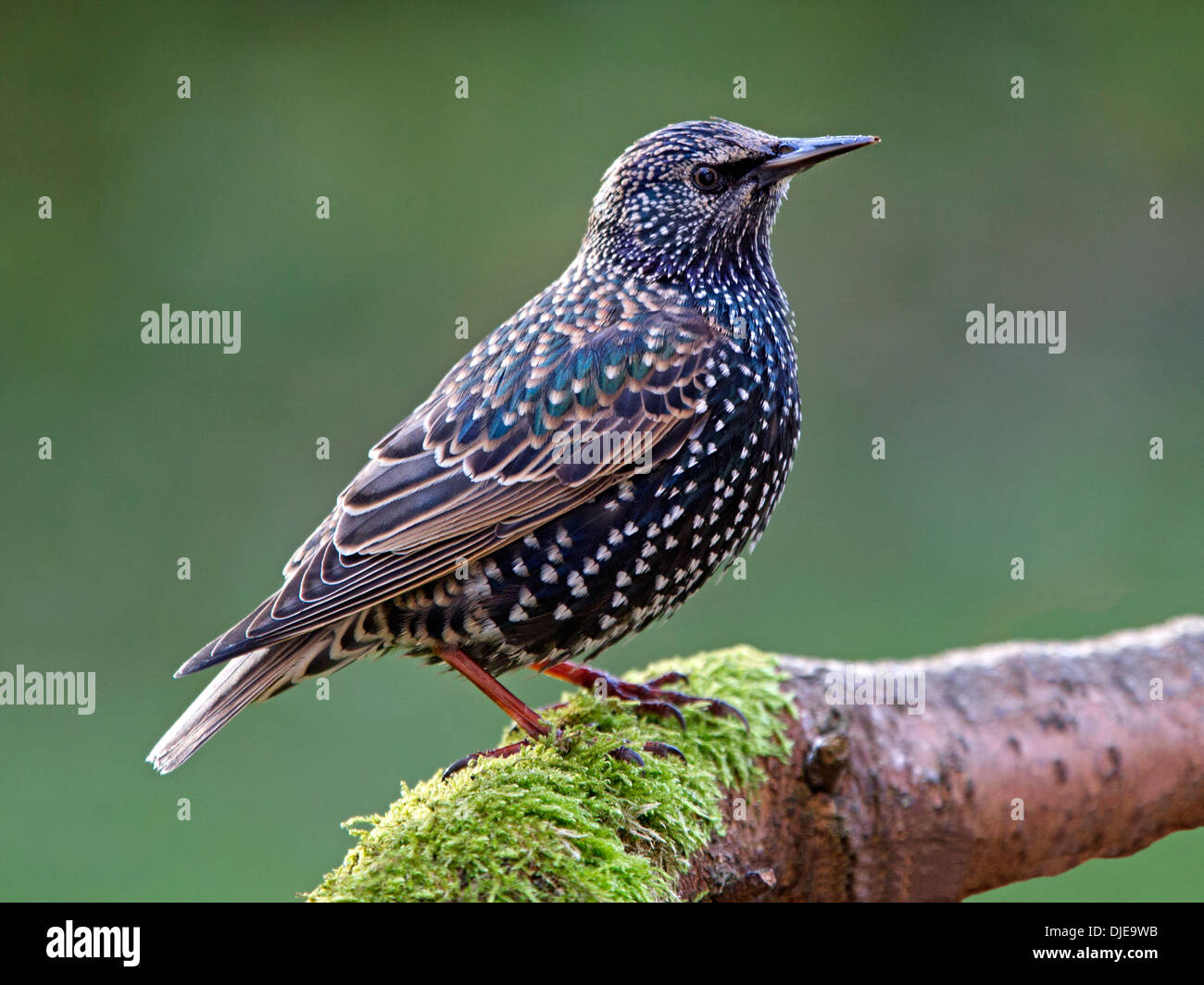 Starling perched on branch - Stock Image
