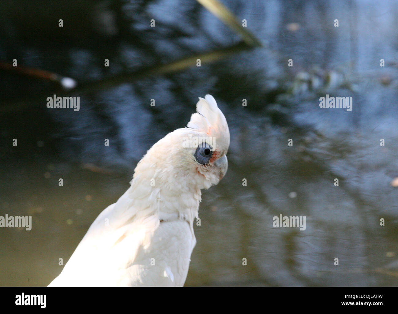 Corella Long Billed is a cockatoo native to Australia, which is similar in appearance to the Little Corella and Sulphur-crested - Stock Image