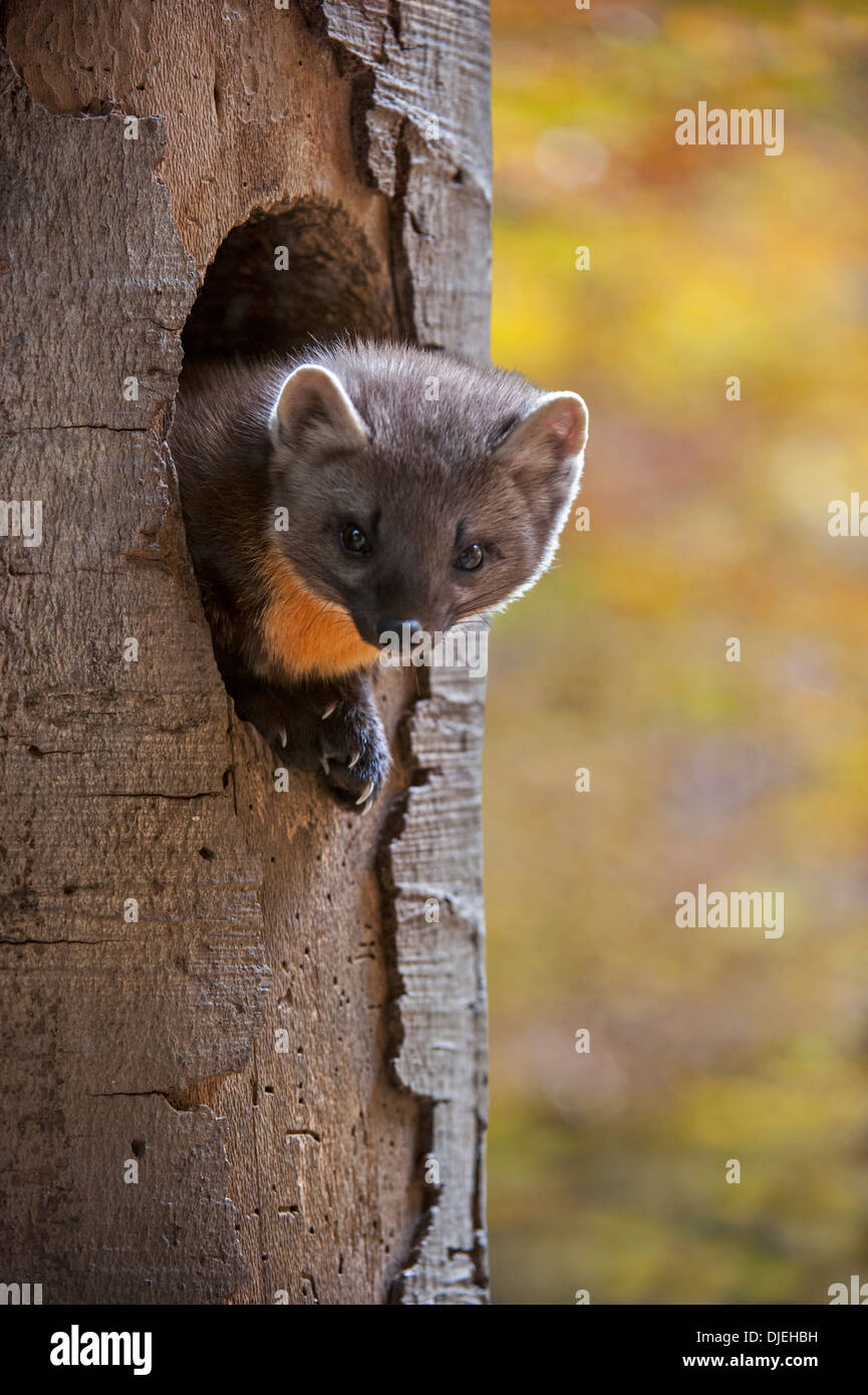 European pine marten (Martes martes) emerging and looking from woodpecker's nest hole in tree in autumn forest - Stock Image