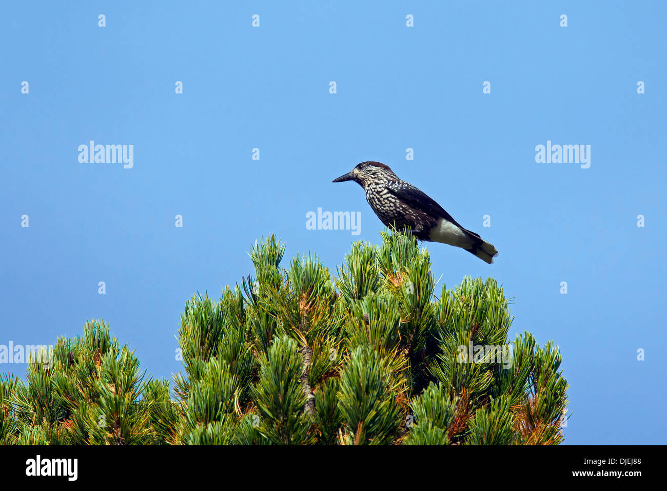 Spotted nutcracker / Eurasian nutcracker (Nucifraga caryocatactes) perched in treetop of spruce tree in coniferous forest, Alps - Stock Image