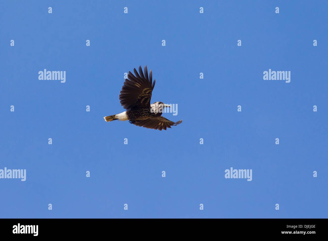 Spotted nutcracker / Eurasian nutcracker (Nucifraga caryocatactes) in flight in the Alps - Stock Image