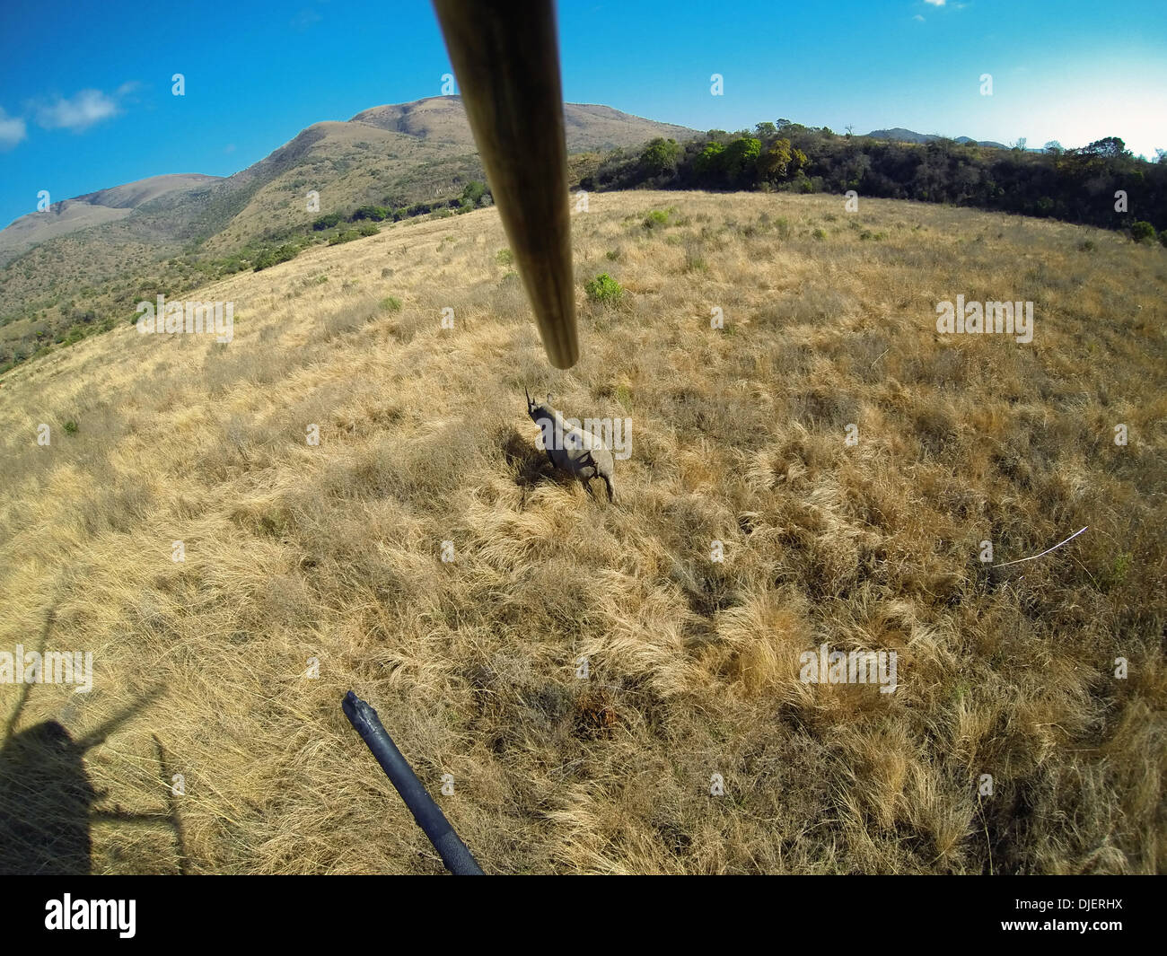 Black Rhinoceros (Diceros bicornis) being darted from a helicopter for conservation.Ithala game reserve.South Africa - Stock Image