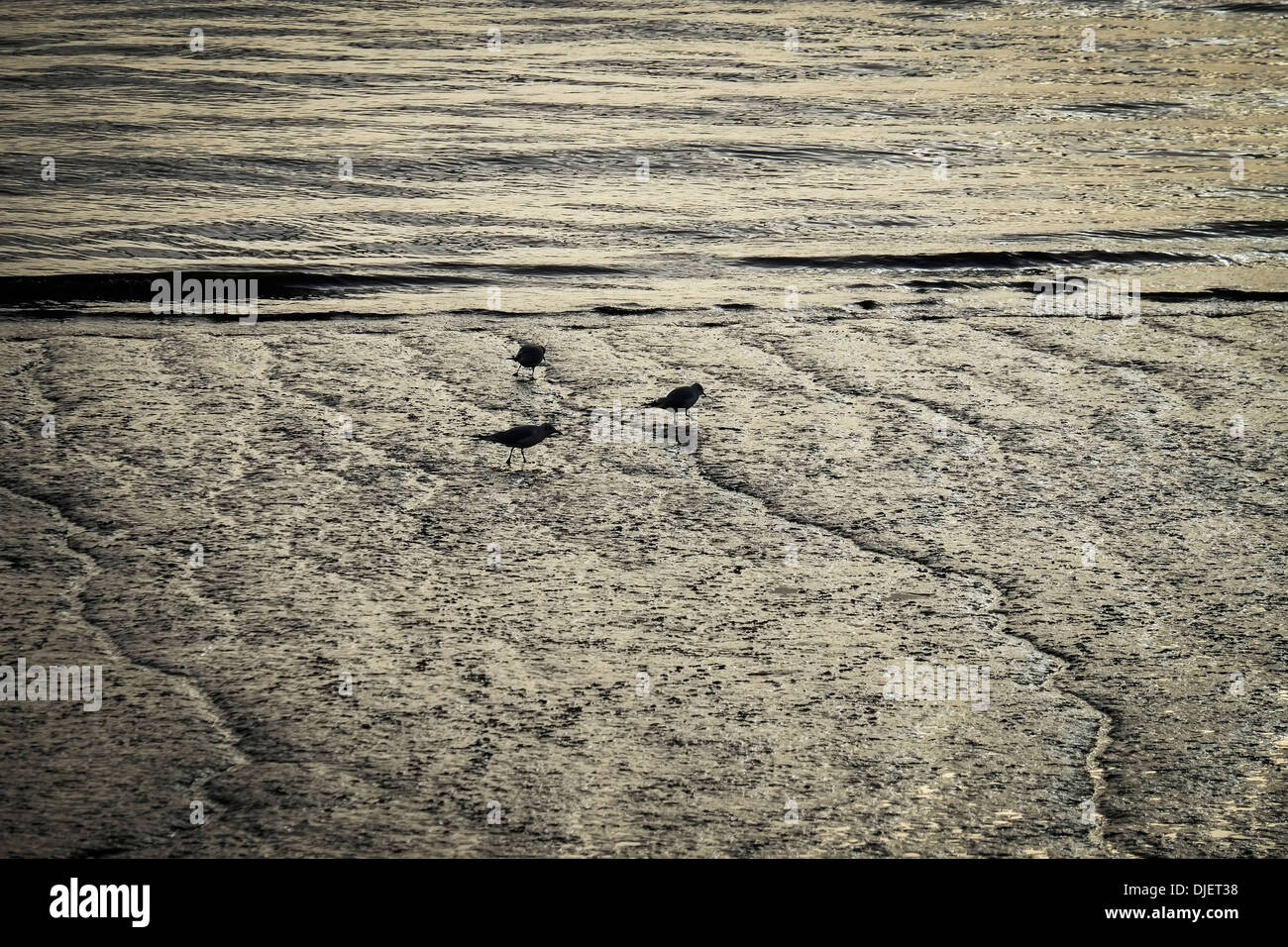 Sandpipers feeding on the foreshore of the River Thames at low tide. - Stock Image