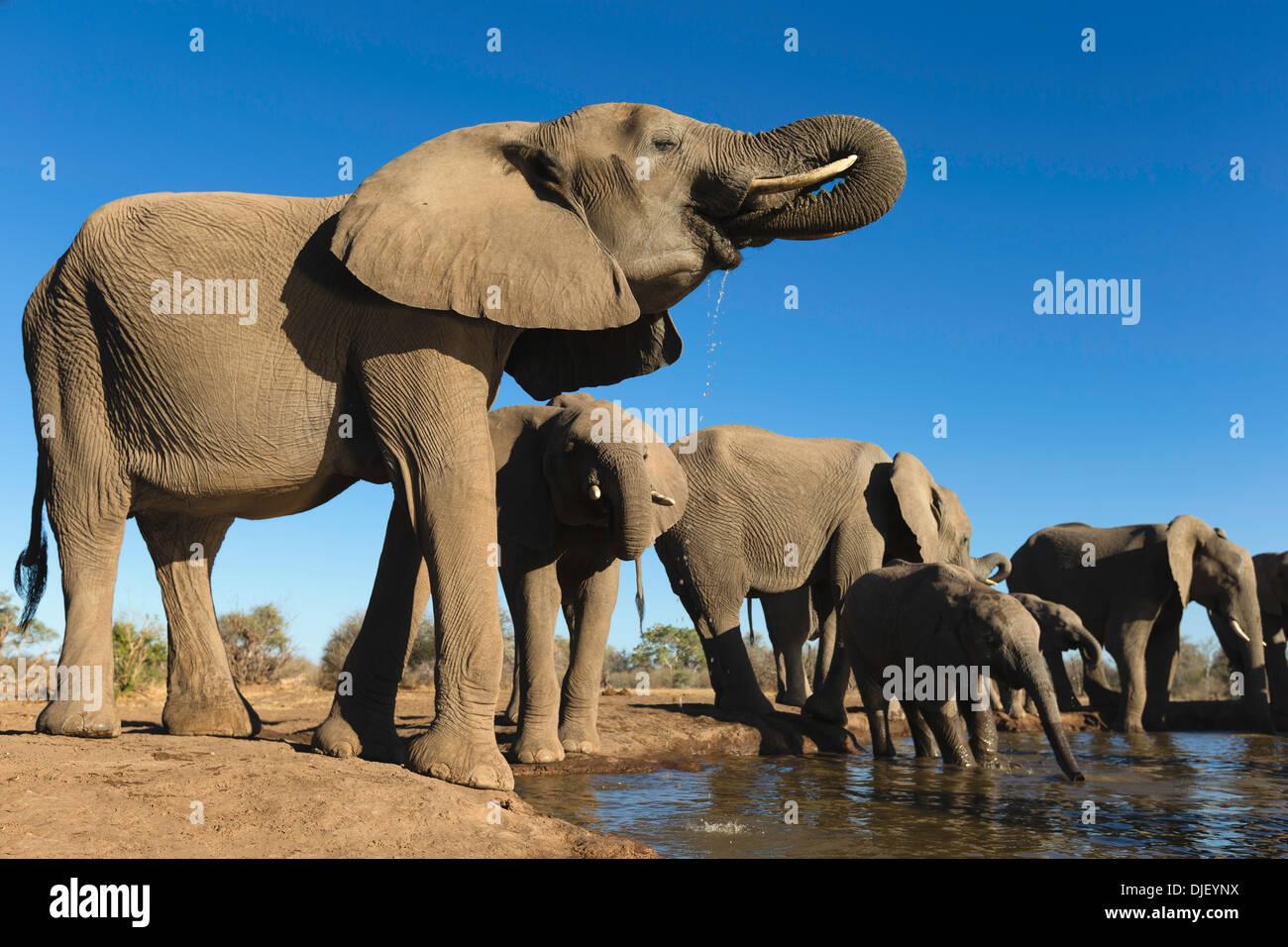 African elephant (Loxodonta africana) small group of elephants drinking at a waterhole in Mashatu game reserve.Botswana - Stock Image