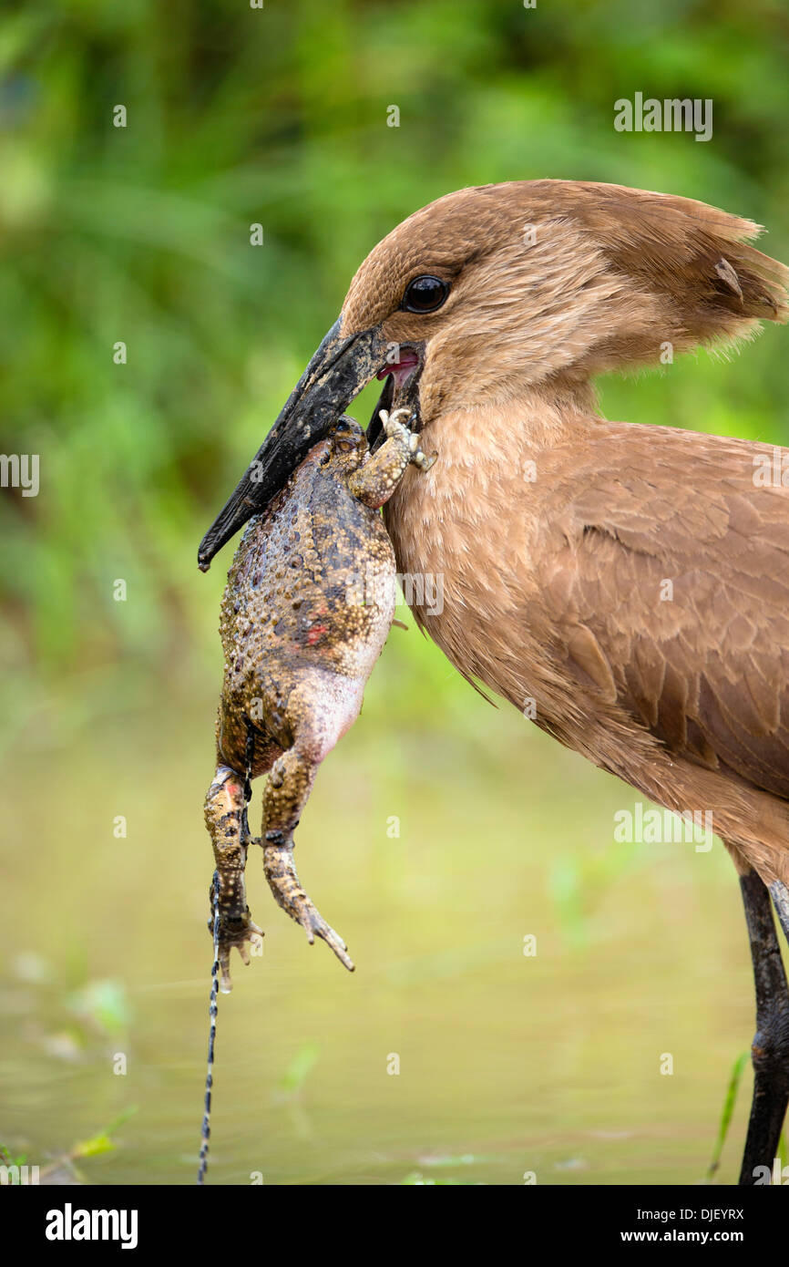 Hamerkop  (Scopus umbretta) eating a frog.Lake Nakuru National Park.Kenya - Stock Image