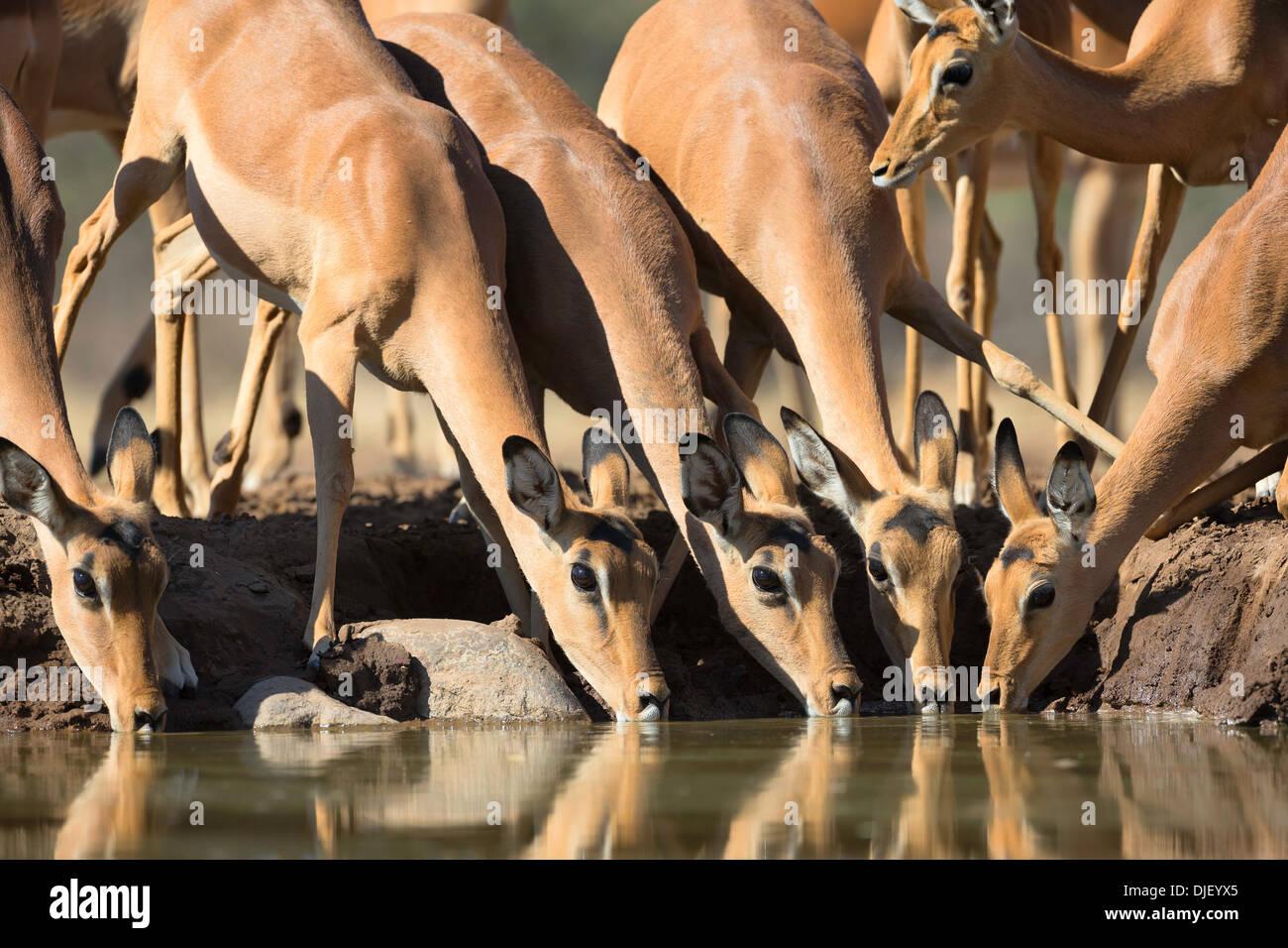 Impala (Aepyceros melampus) Drinking at waterhole. Mashatu game reserve.Botswana - Stock Image
