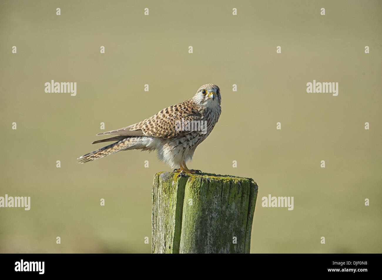 Kestrel (Falco tinnunculus) female, perched on a post, Elmley Marshes RSPB Reserve, England - Stock Image