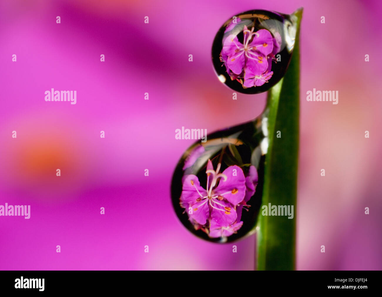 Extreme Macro View Of Fireweed Bloom Magnified Inverted And Reflected In Dew Drops Suspended From A Blade Of Grass - Stock Image