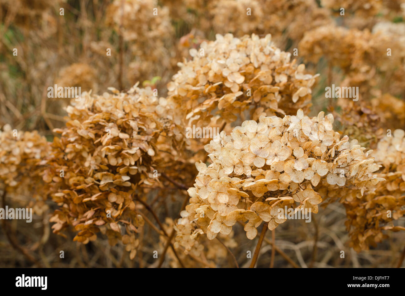 mass of dead Japanese Hydrangea plants the orange flowers heads making a natural dried flower arrangement in the Stock Photo