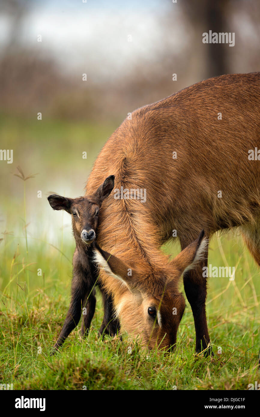 Waterbuck (Kobus ellipsiprymnus)Mother with newly born calf .Lake Nakuru National Park.Kenya - Stock Image