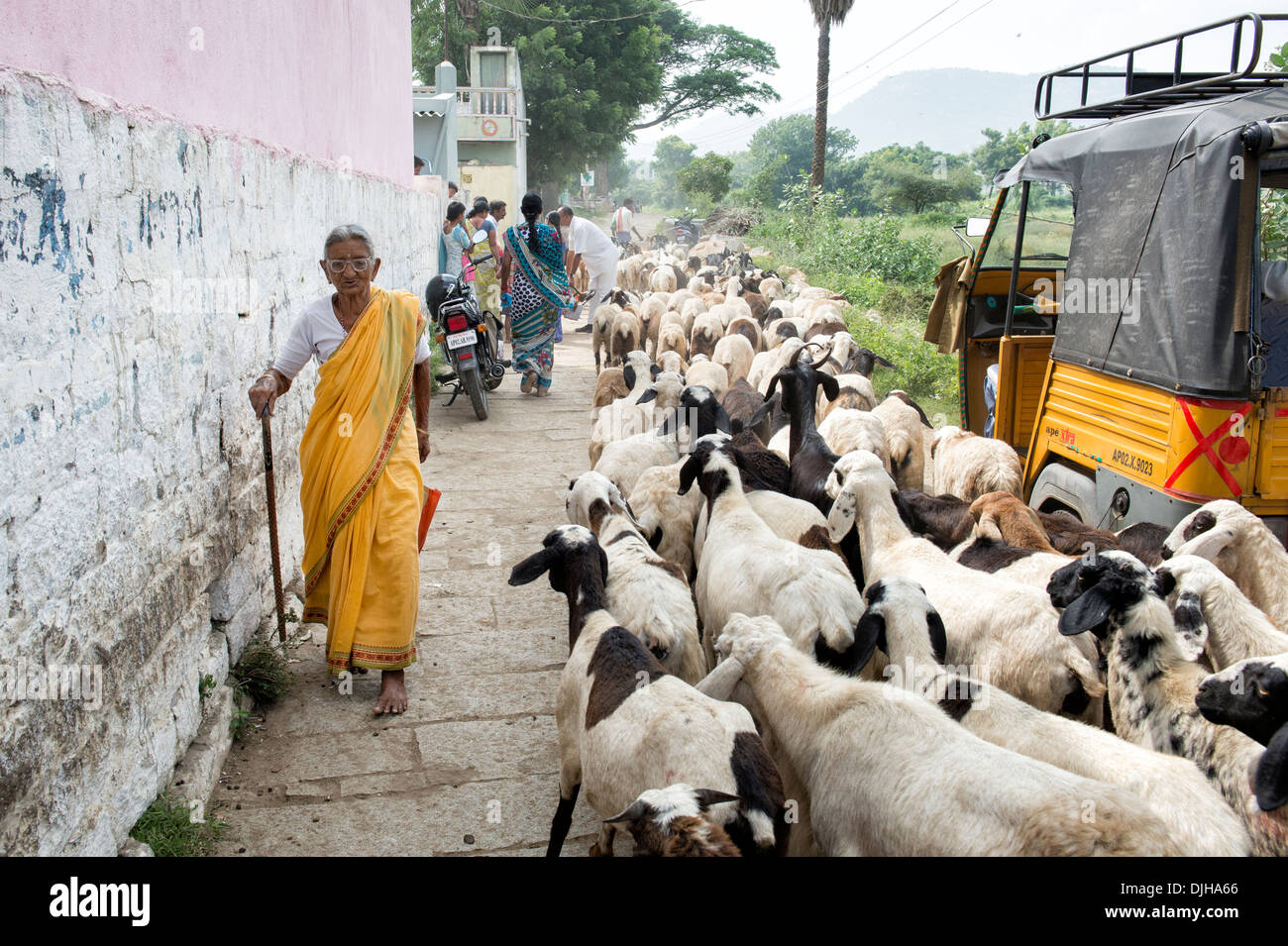 Rural Indian woman walking past goats outside the Sri Sathya Sai Baba mobile outreach hospital clinic. Andhra Pradesh, India - Stock Image