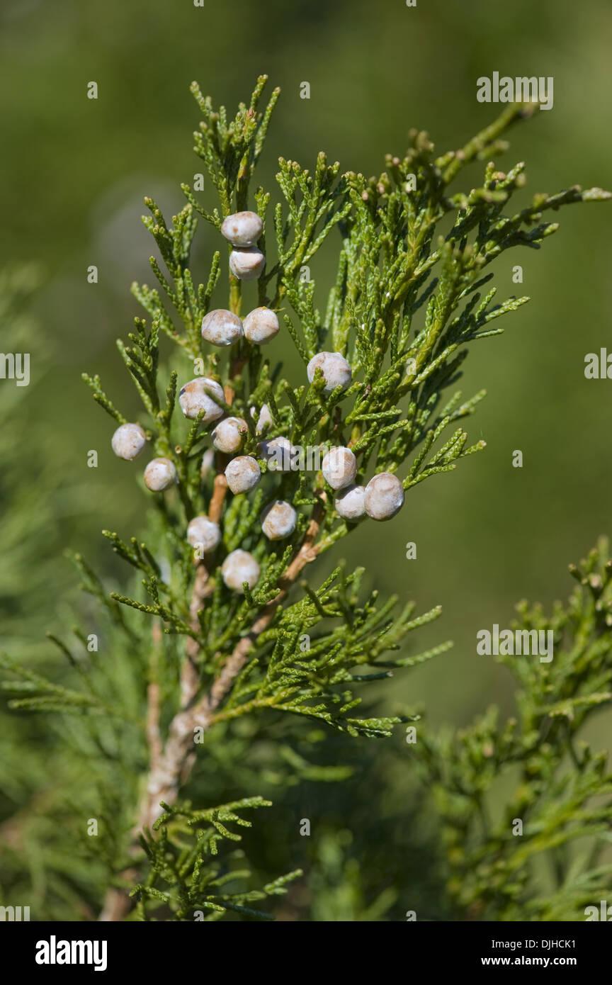 chinese juniper, juniperus chinensis - Stock Image