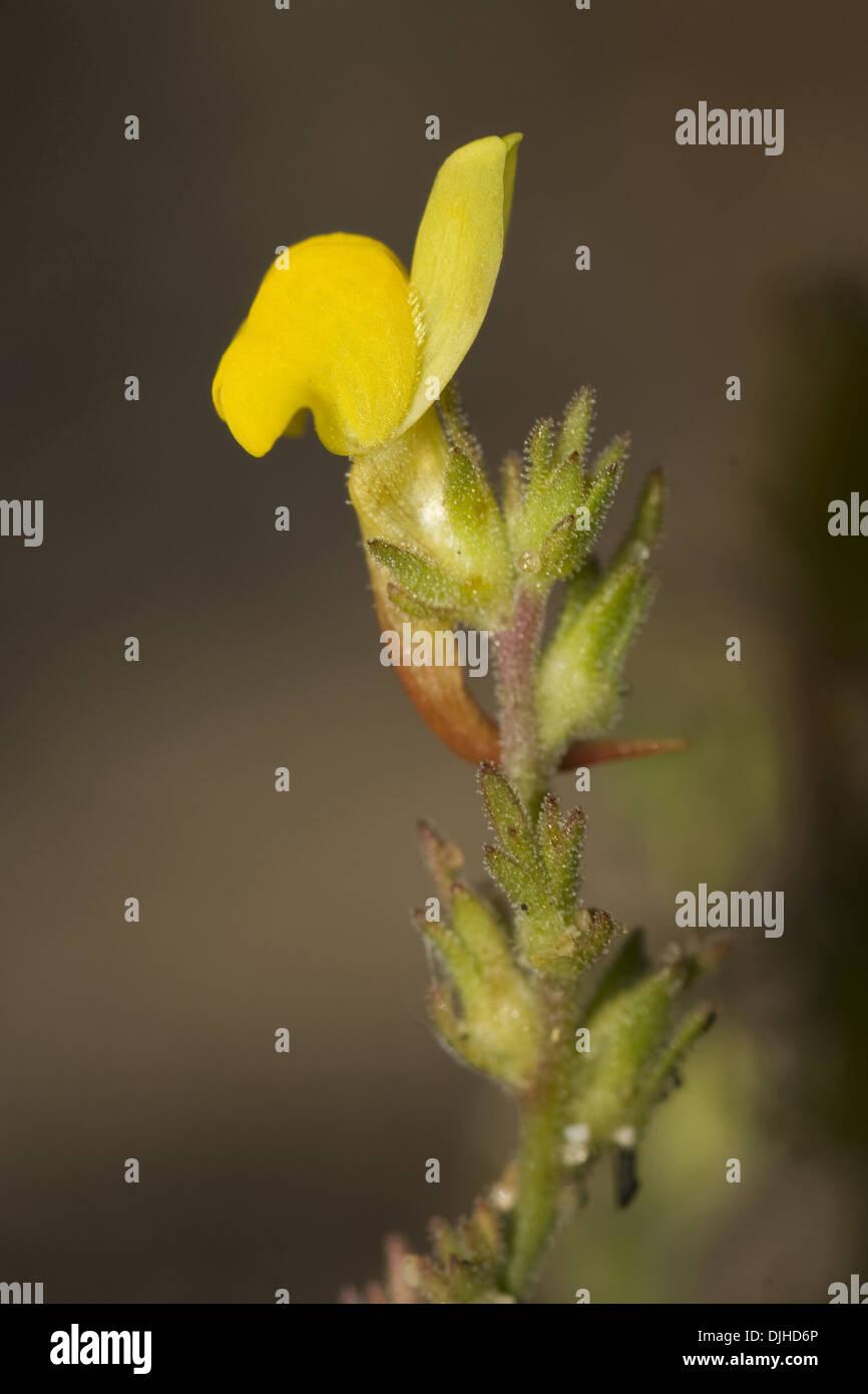 toadflax, linaria bipunctata ssp. glutinosa - Stock Image