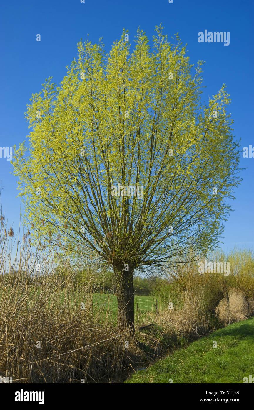 white willow, salix alba Stock Photo