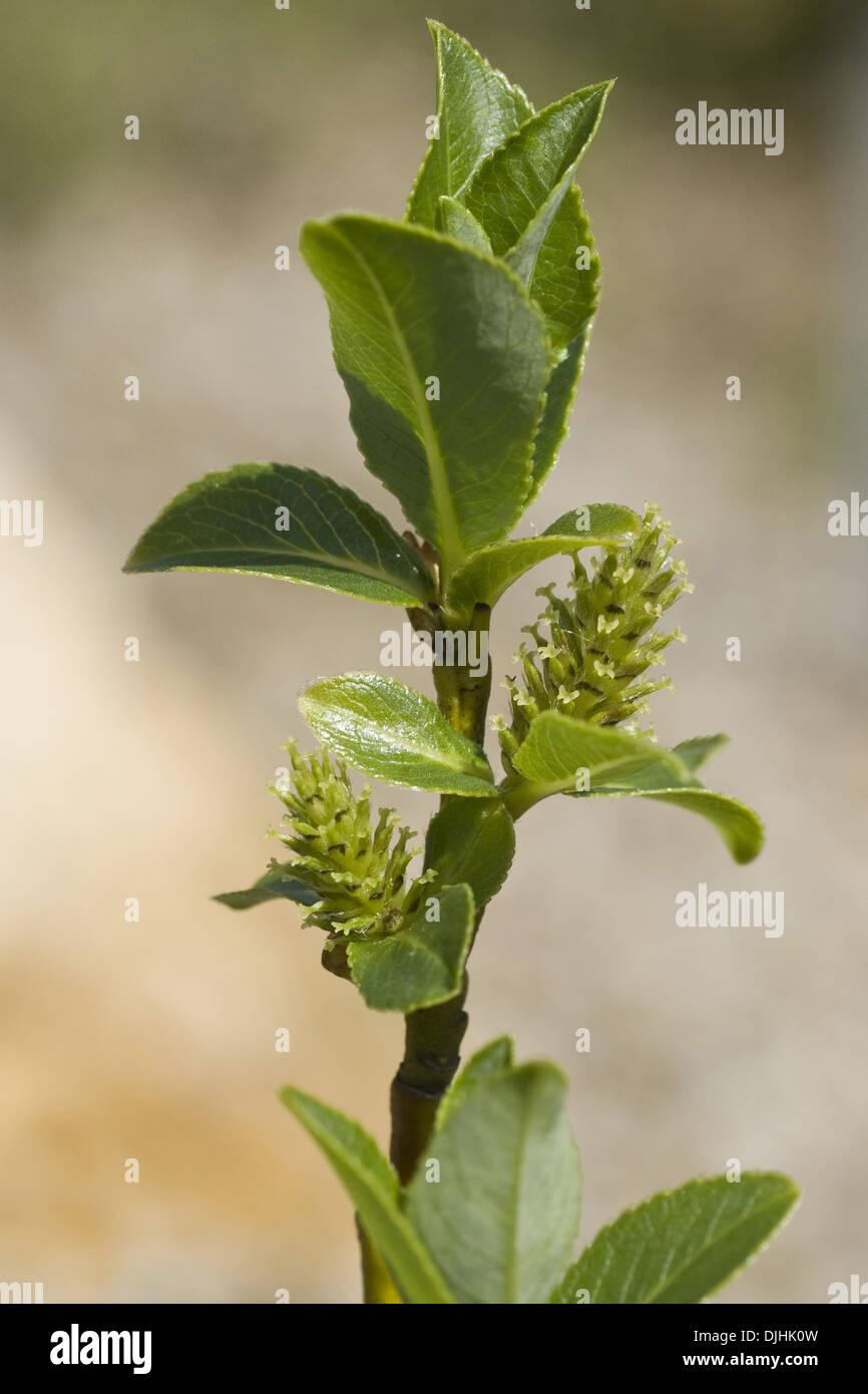 bald willow, salix glabra - Stock Image