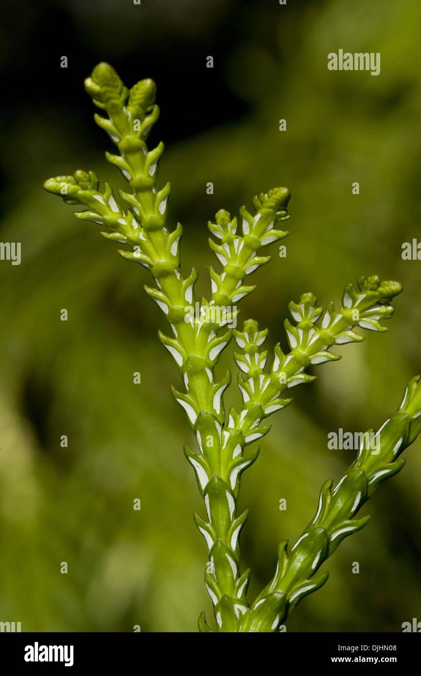 asunaro, thujopsis dolabrata - Stock Image