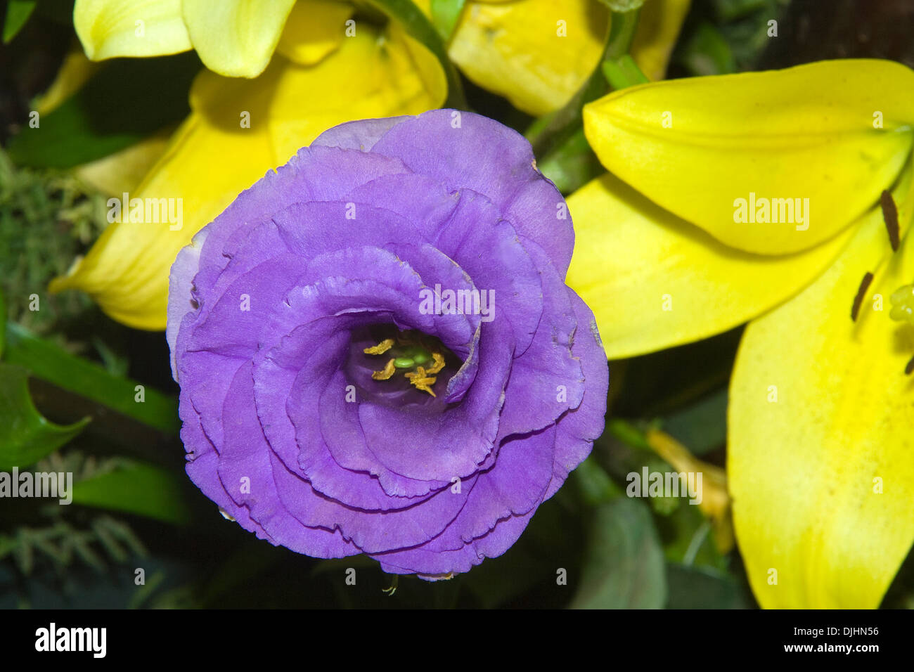 Flower with violet colored petals thickly wound in spiral fashion - Stock Image