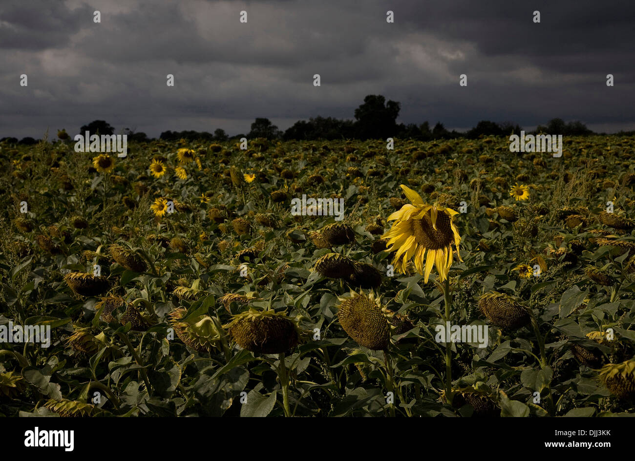 Field of dying sunflowers - Stock Image