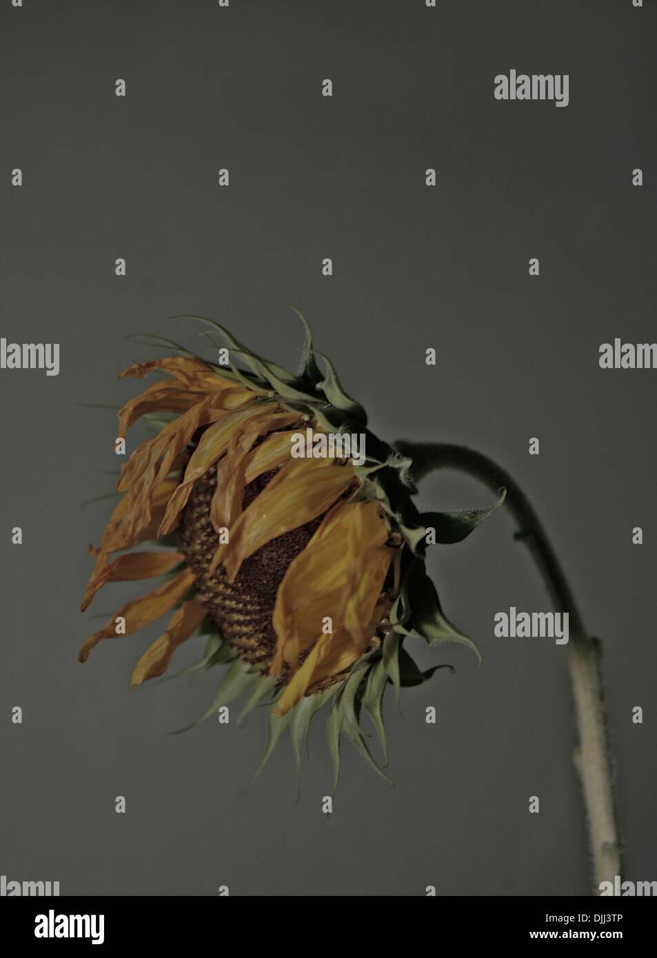 Single dying sunflower. - Stock Image