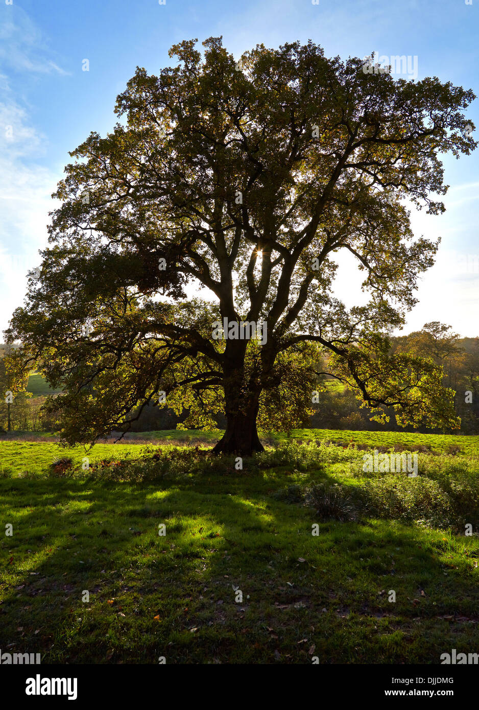 English Oak Quercus robur tree seen against low autumn sunlight in autumn - Stock Image