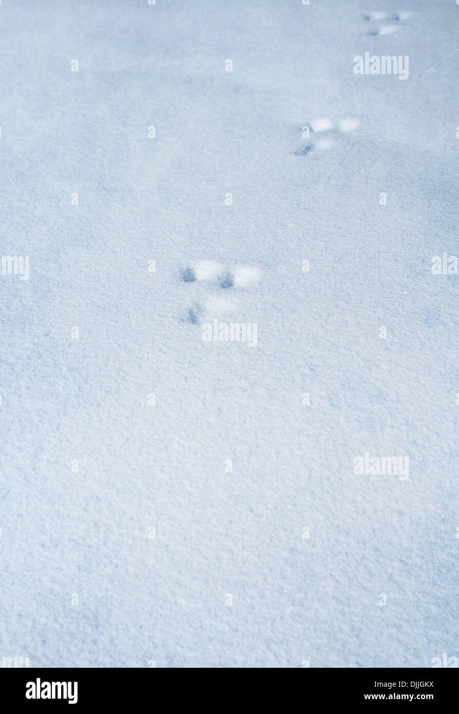 Animal footprints in the snow at Yellowstone National Park, United States - Stock Image