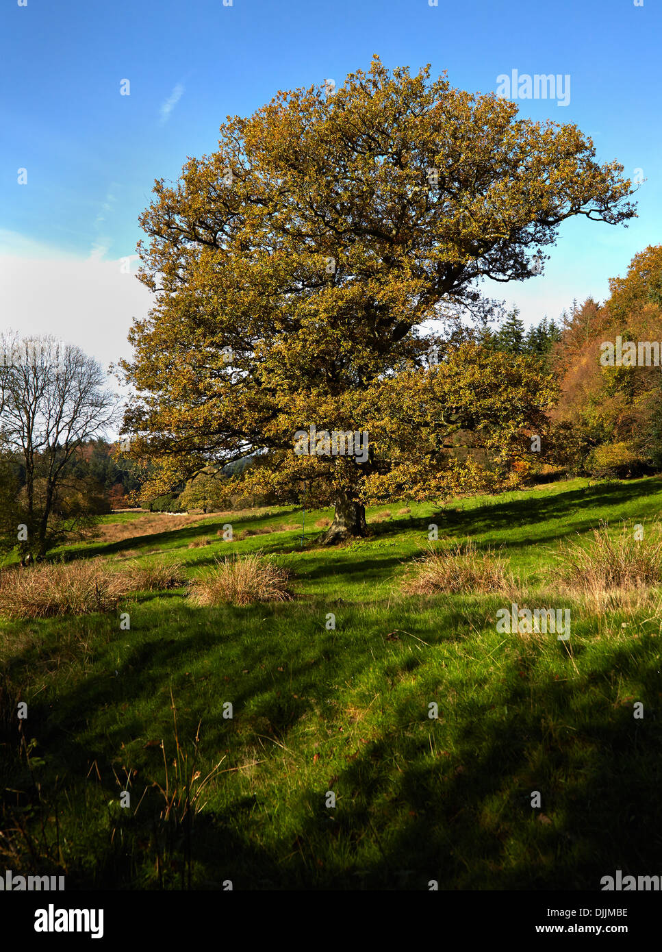 English Oak Quercus Robur in autumn foliage Wiltshire UK - Stock Image