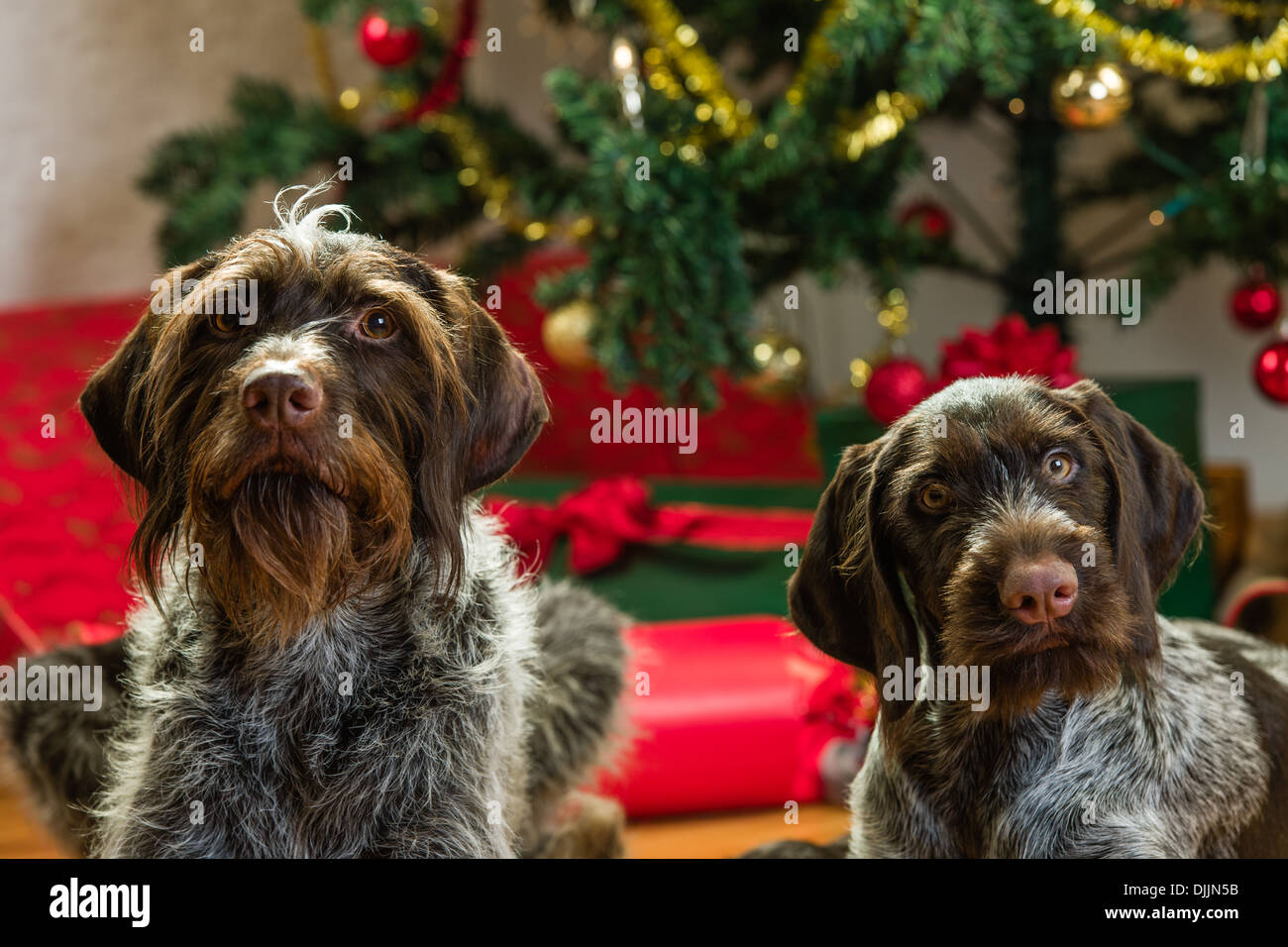 adult and puppy german wire haired pointers christmas tree and gifts on background horizon format