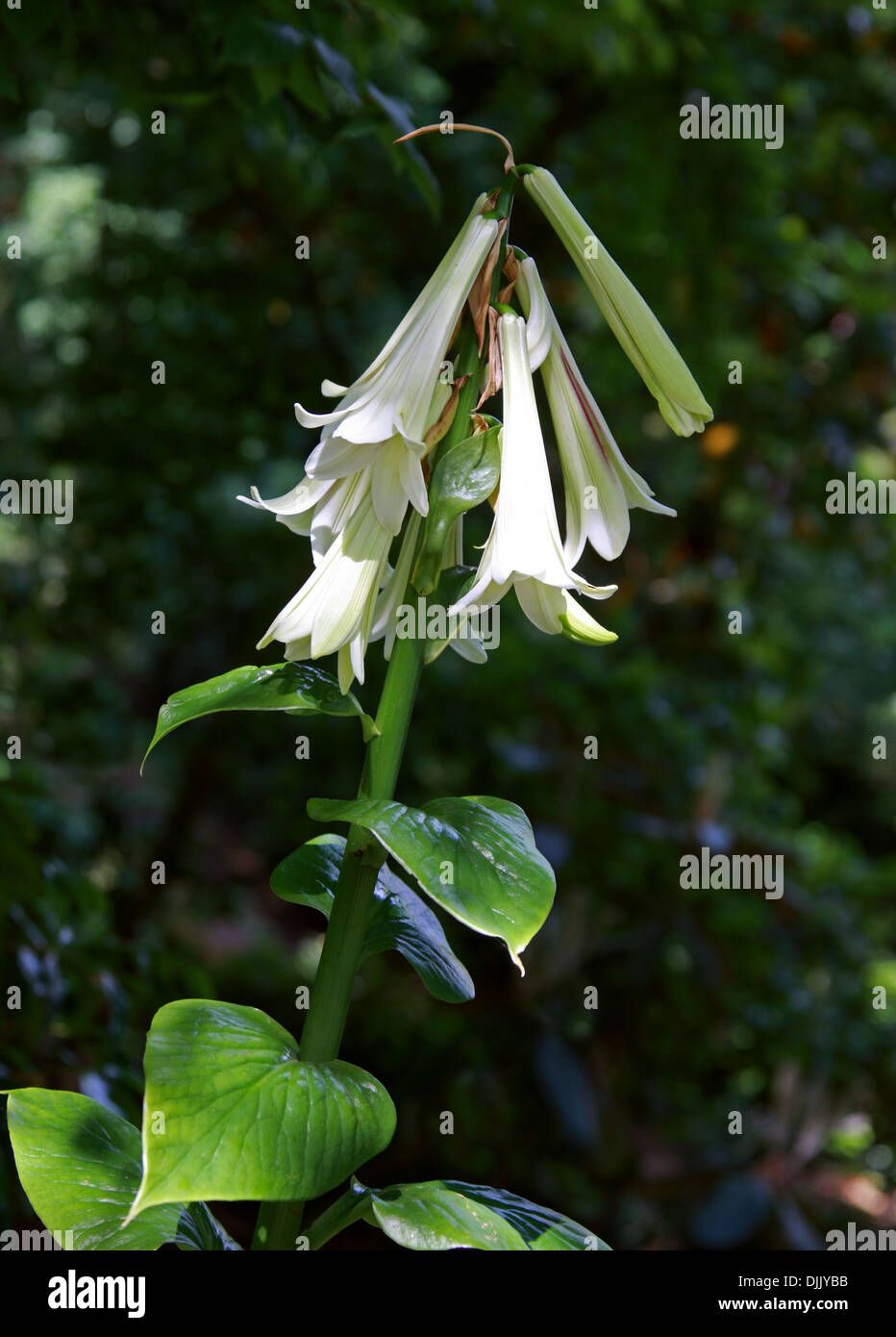 Giant Himalayan Lily, Cardiocrinum giganteum, Liliaceae. Forest Glades in the Himalayas, Japan and China. - Stock Image